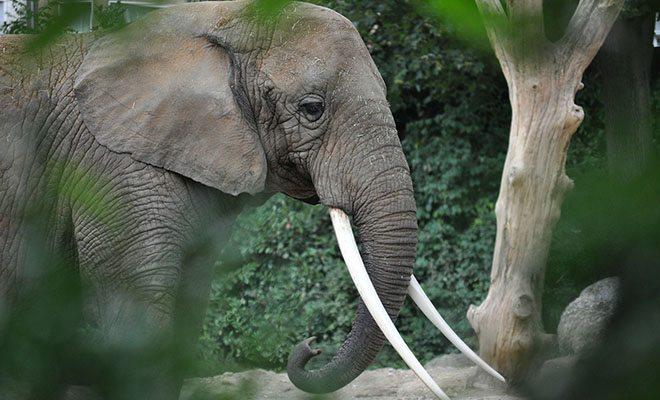 слон среди листвы